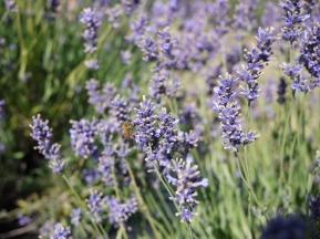 Raw - Lavenders