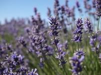 Raw - Lavender Fields